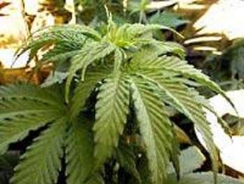 Канада задумалась о легализации марихуаны
