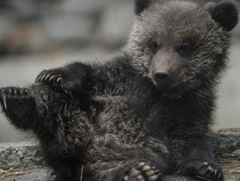 Мужчина отвел найденного медвежонка в парламент Грузии