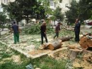 За вырубку деревьев в Баку арестованы два человека