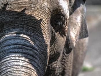 В Индии слон убил 15 человек