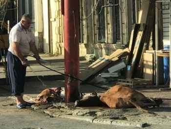 Режут скот в Баку… Кровавые лужи