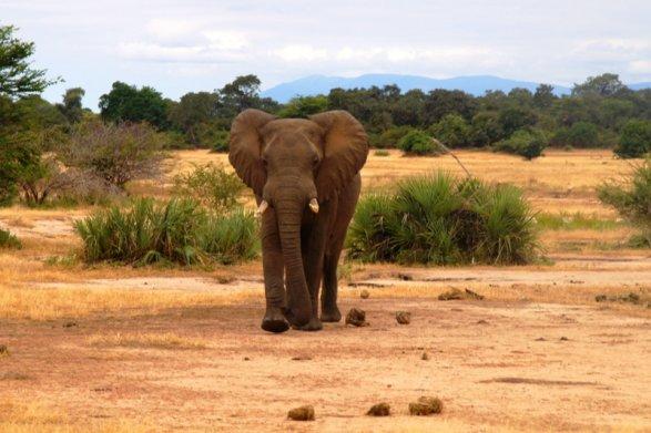 Слон убил 2-х туристов вЗамбии, решивших сним сфотографироваться