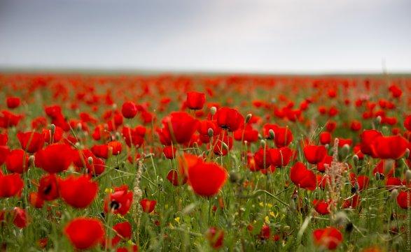 Площади посевов опийного мака вАфганистане побили все рекорды