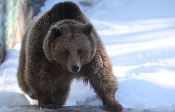 ВИркутской области медведь похитил умужчины два ружья