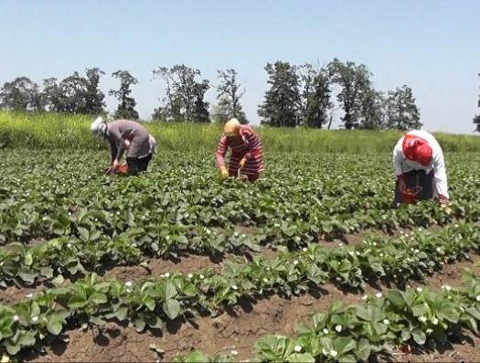 Бакинские прилавки завалены клубникой с ГМО?