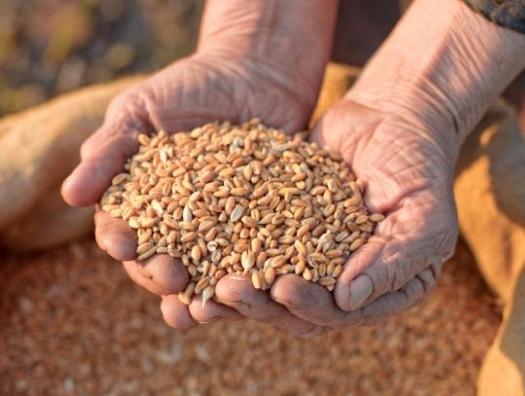 Ожидает ли нас дефицит зерна?