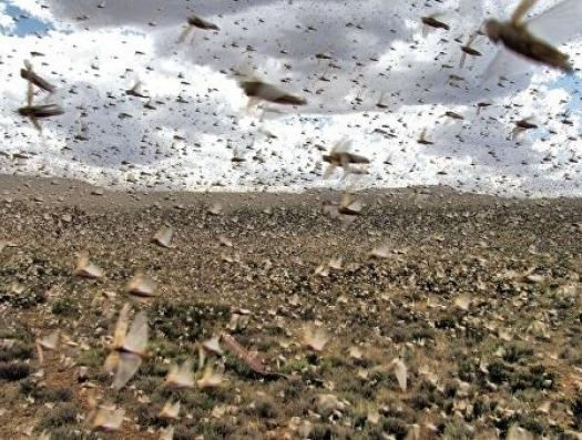 Невиданное нашествие саранчи обрекает на голод миллионы