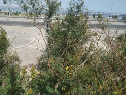 Как погибают бесхозные зеленые насаждения в центре Баку