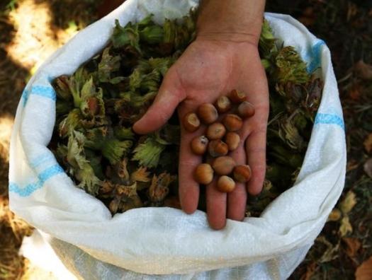 Азербайджанские фермеры несут убытки: провал с экспортом фундука