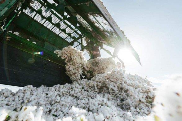Удачная аграрная политика Ильхама Алиева: исторический год для азербайджанского хлопководства!