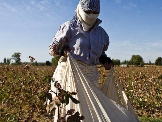 Хлопководство в тупике – отрасль жива только благодаря дотациям