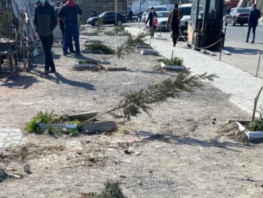 «Карабахские инвалиды» перешли в наступление на деревья в Баку